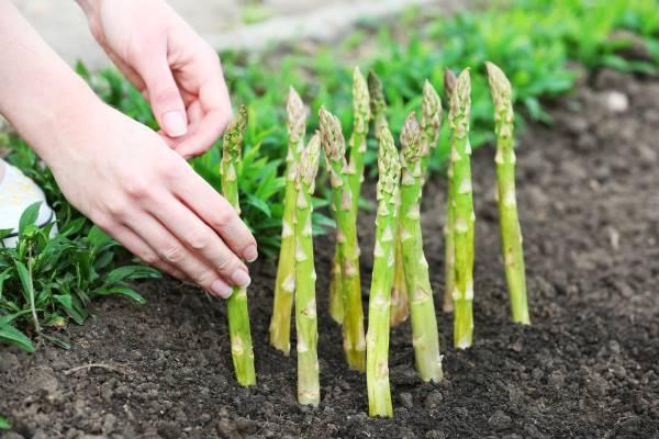 como plantar espárragos