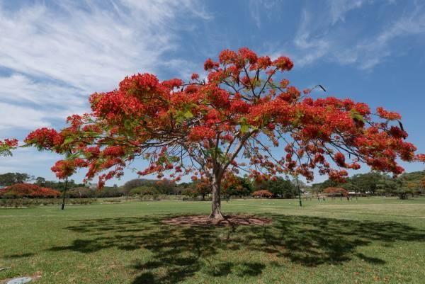 Extravagante: Todo sobre este hermoso árbol. Cómo plantar y otras informaciones