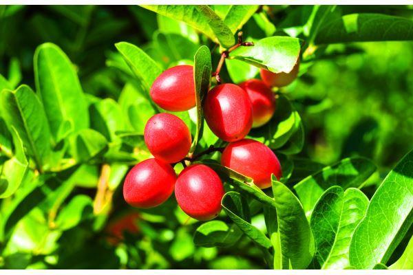 Fruta milagrosa: ¡buena para perder peso! Anticancerígeno, antidiabético y más.