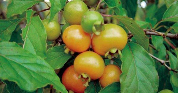 Gabiroba → ¡Delicia de frutas nativas! Mira aquí para qué sirve