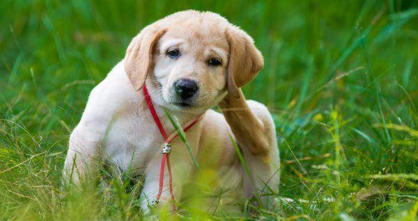 Garrapata del perro: 20 remedios naturales efectivos