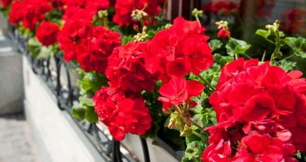 Geranios para un jardín siempre floreciente. Aprende a cultivarte paso a paso