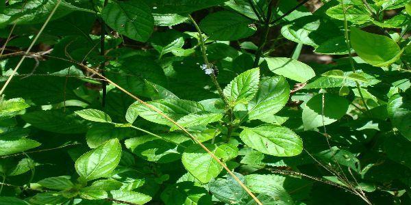 Gervão, una hierba brasileña curativa por excelencia