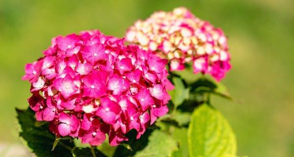 Hortensia, una flor con significado espiritual