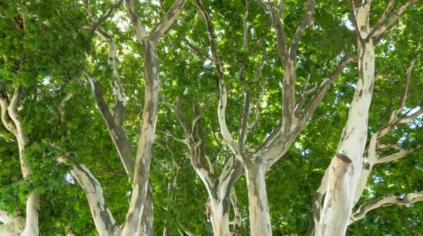 Ironwood: medicinal contra las úlceras y más