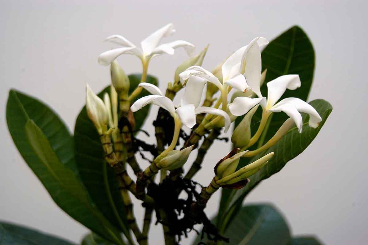 Janauba: la planta medicinal milagrosa