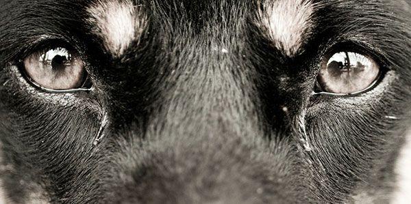 Ojos muy llorosos en perros, ¿qué puede ser?