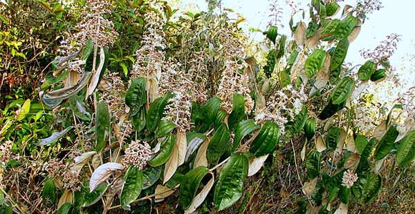 Old Cinnamon, una planta milagrosa contra la artritis, la artritis y el dolor en general.