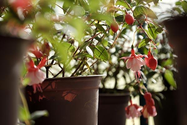 Pendiente de princesa, una realeza de plantas! Significados, cómo plantar y cuidar