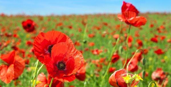 Poppy - La leyenda, el significado y cómo cultivar