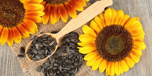 Semillas de girasol: propiedades y cómo usar